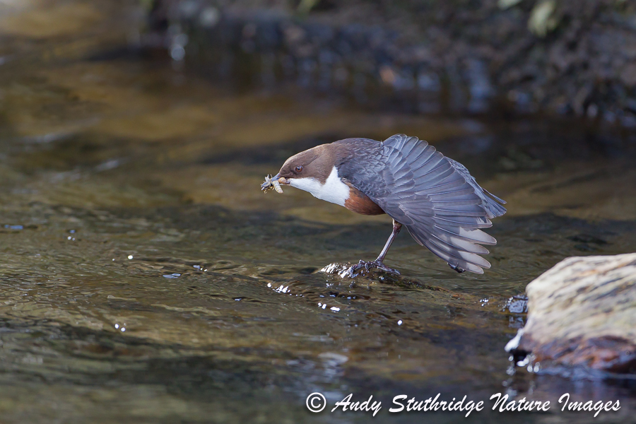 Dipper Wing Stretching