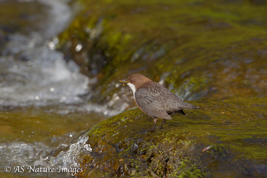 Dipper by Waterfall