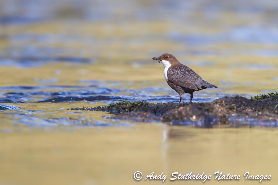 Dipper in Morning Light