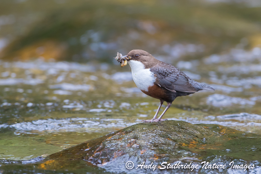 Dipper on Mid-Stream Rock