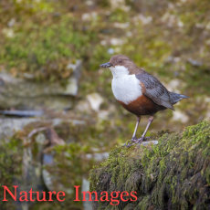 DIPPER ON OLD BRIDGE