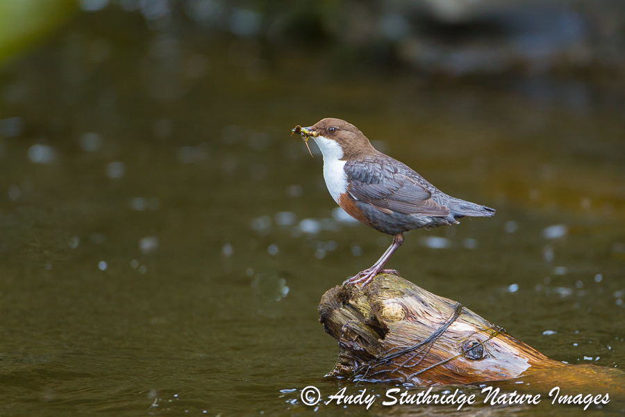 Dipper on Old Log
