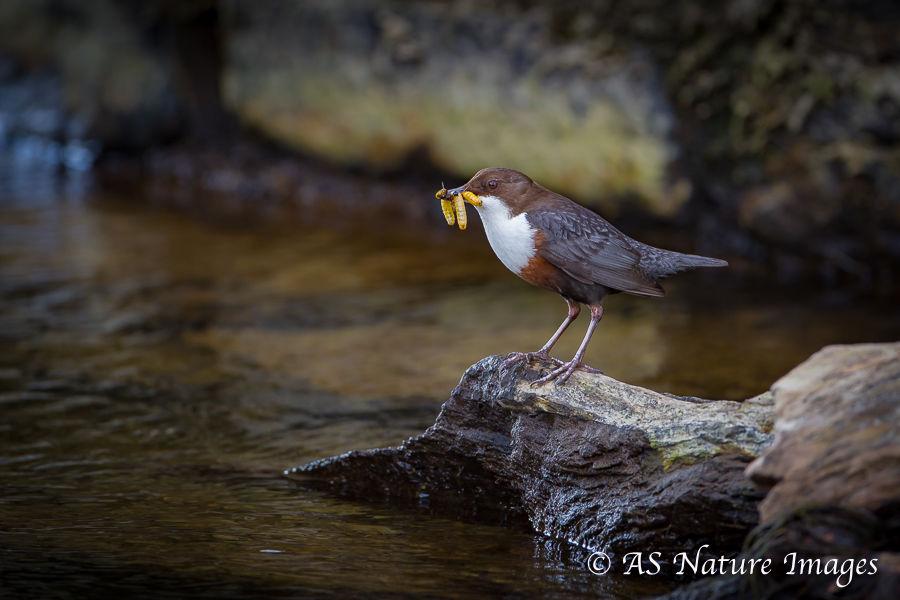 Dipper under Old Bridge