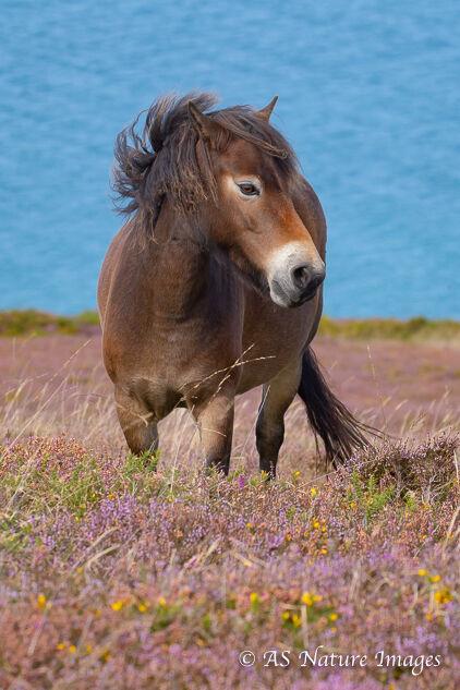 Exmoor Pony in Heather