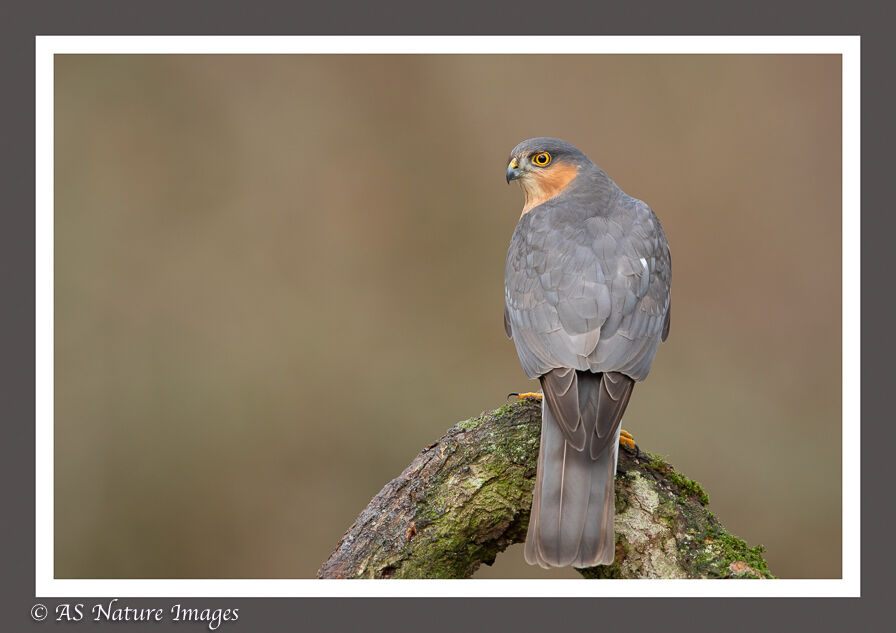 """"""" Eye of the Hunter """" - Male Sparrowhawk"""