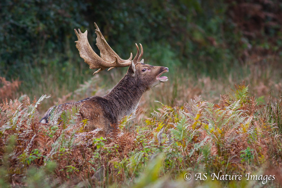 Fallow Buck Bellowing
