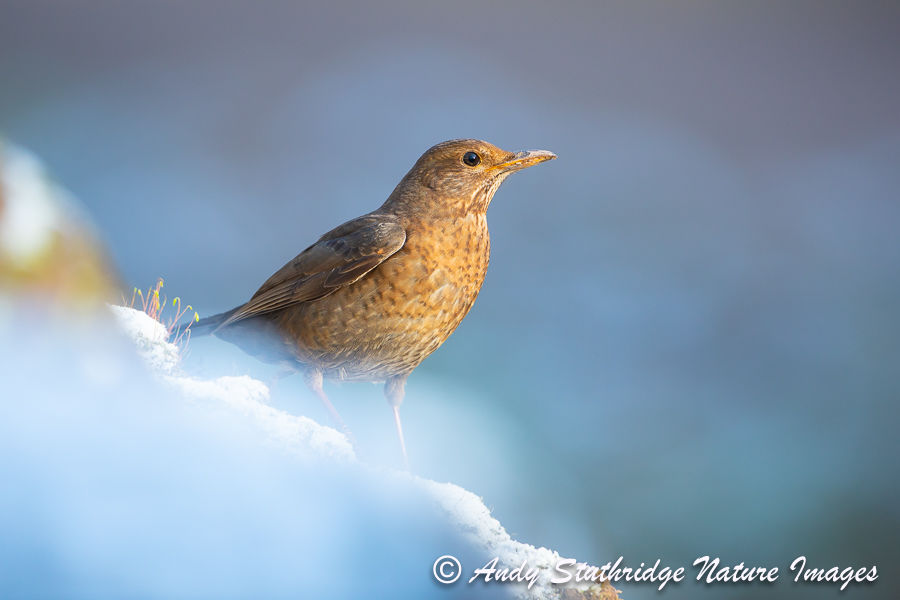 Female Blackbird in the Snow