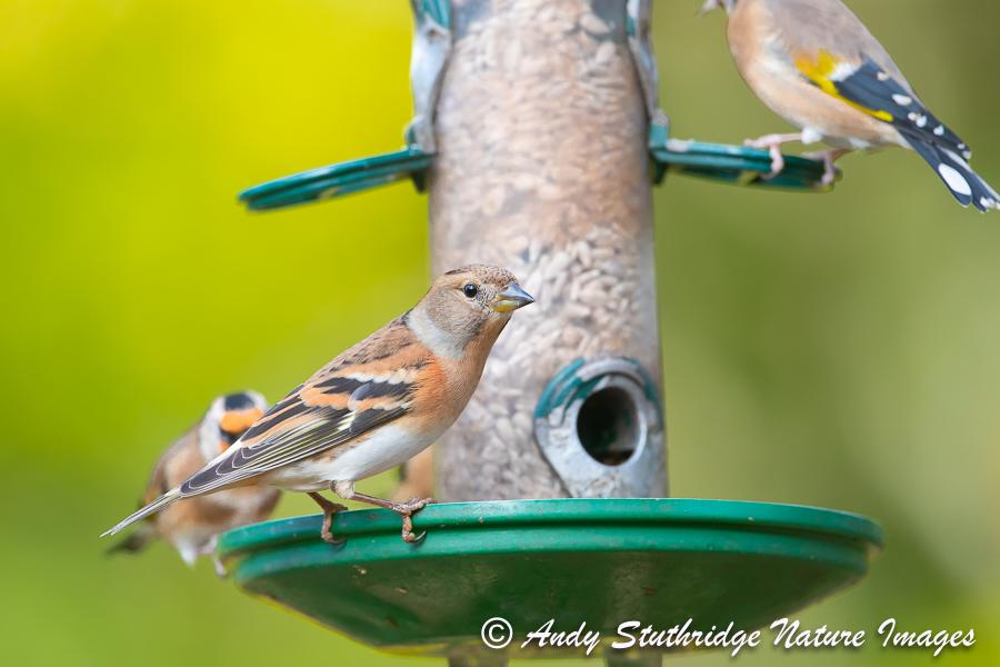Female Brambling on Bird Feeder