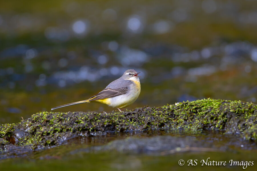 Female Grey Wagtail Calling