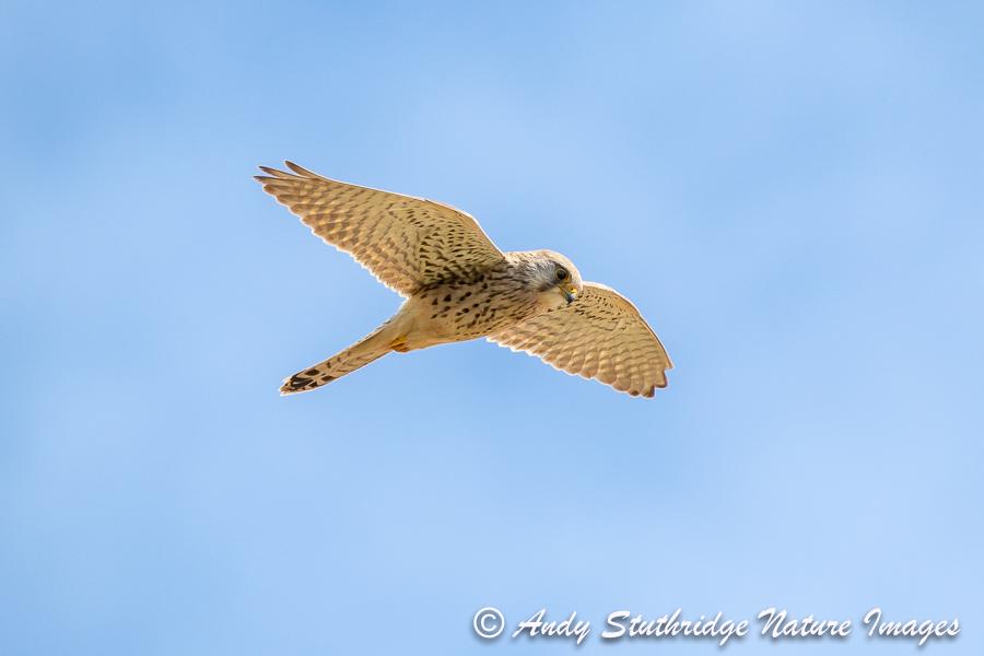 Female Kestrel Hovering