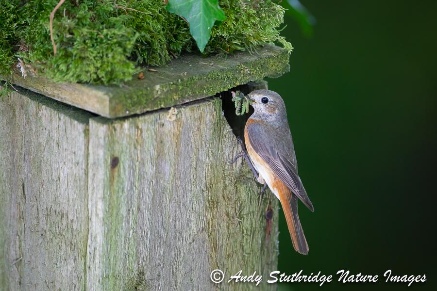 Female Redtart at Nest Box