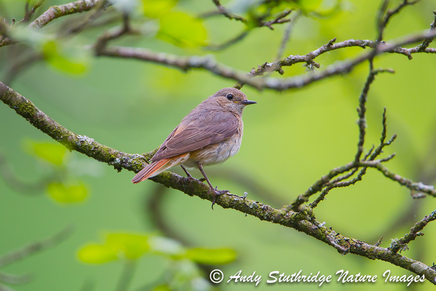 Female Redstart in Oak Tree