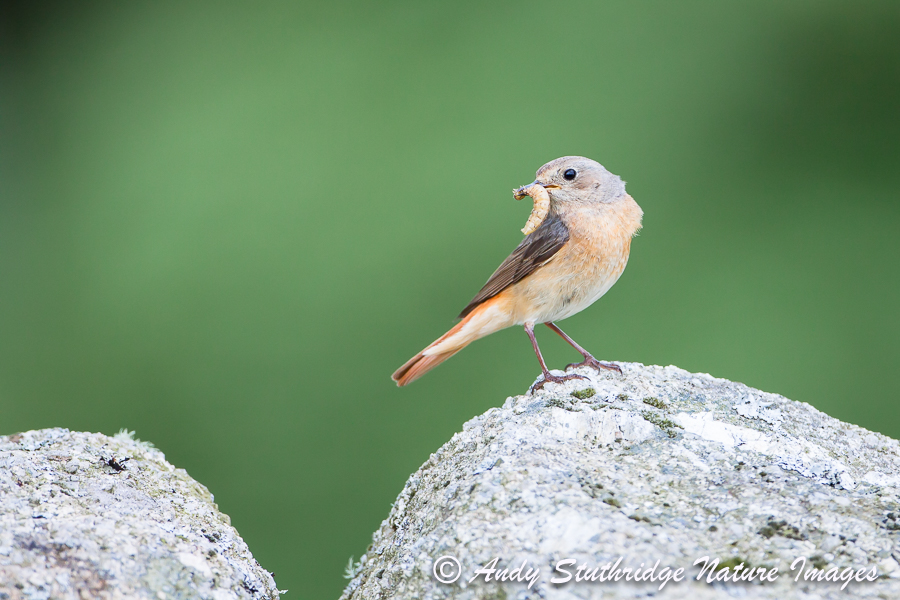 Female Redstart on Wall