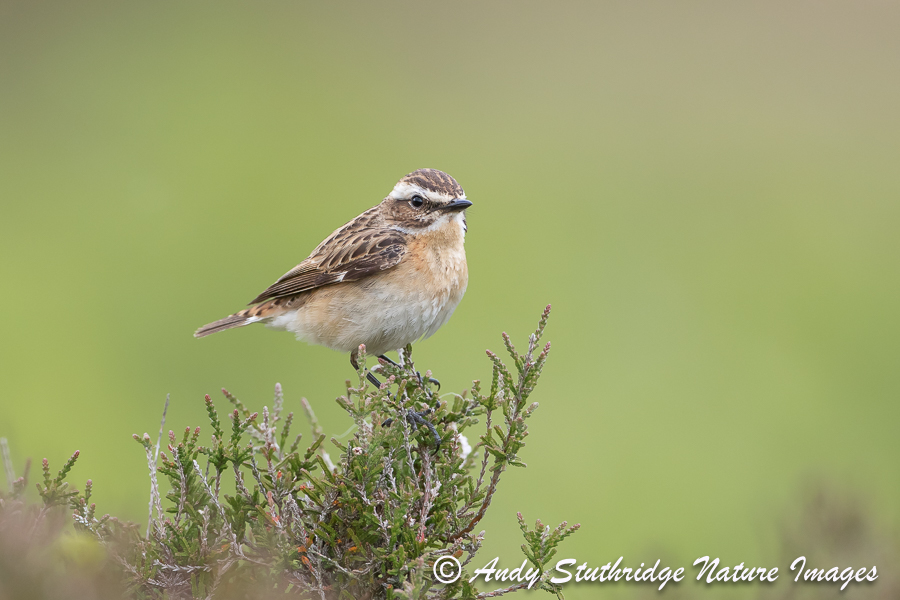 Female Whinchat on Heather