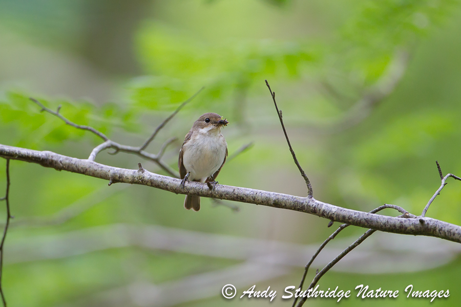 Female Pied Flycatcher in Woodland