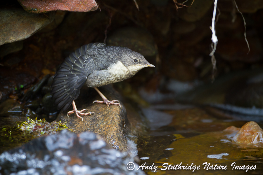 Dipper Fledgeling Stretching under River Bank