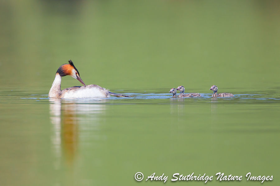 Following On!...Great Crested Grebe with Chicks