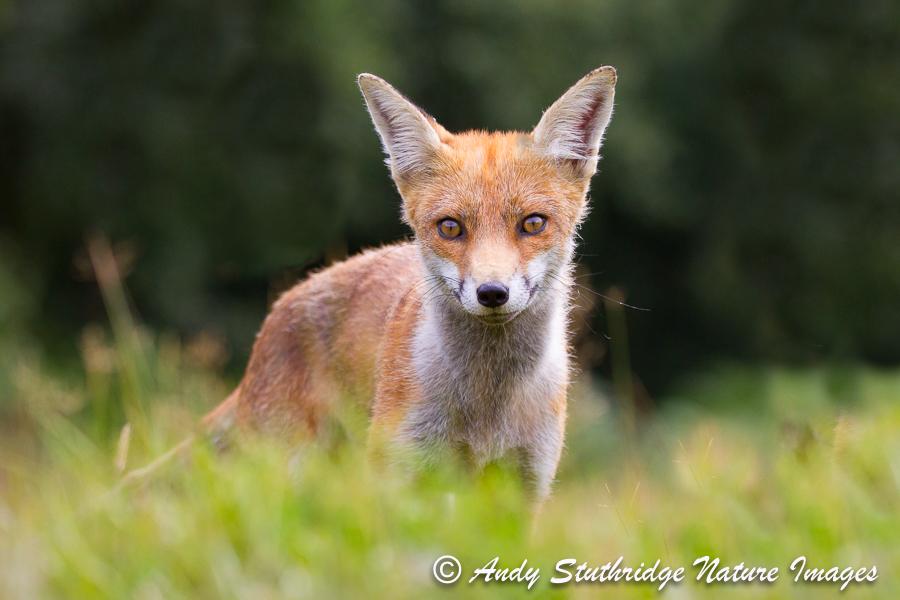 Fox Cub in Garden