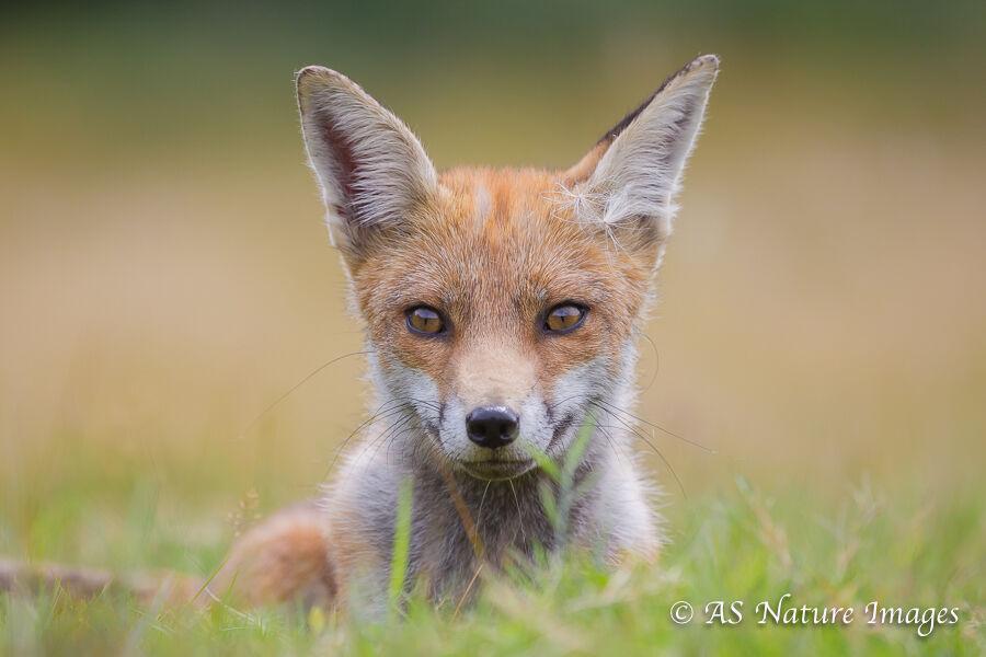 Fox Lying in Field