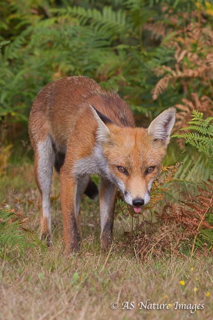 Fox Walking in Woodland Glade