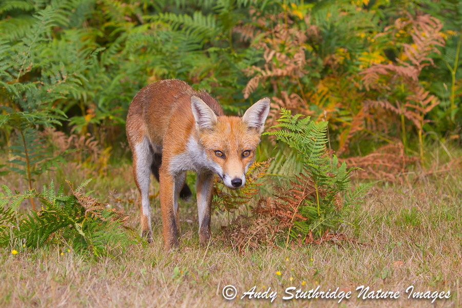 Fox in Bracken