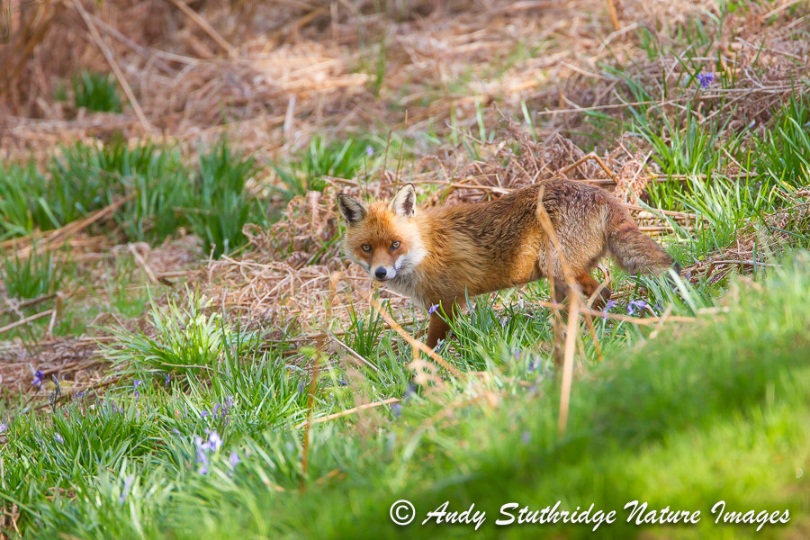 Red Fox in Bluebell Wood