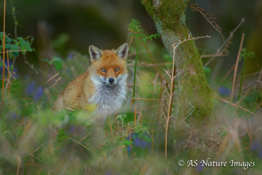 Fox in Bluebell Wood