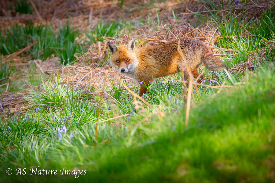 Fox in Woodland