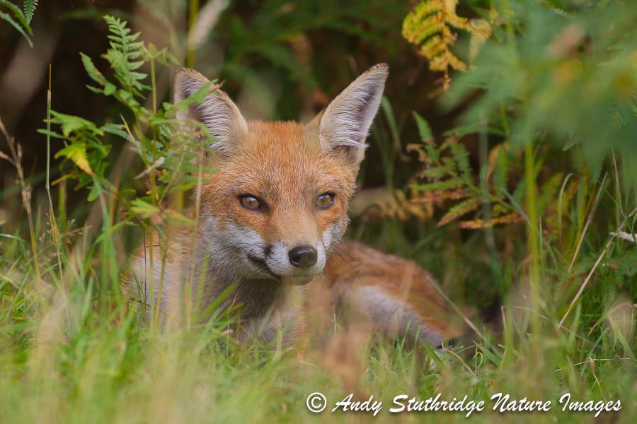 Fox Lying in Undergrowth