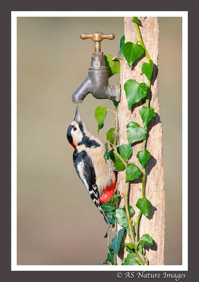 Great Spotted Woodpecker & Garden Tap