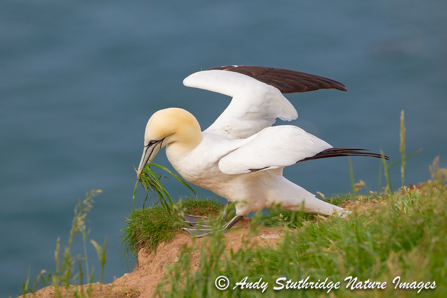 Gannet Collecting Nesting Material