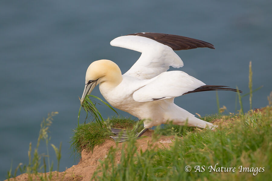 Gannet Collecting Nest Material
