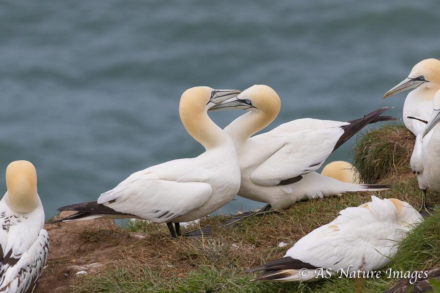 Gannet Courtship -2