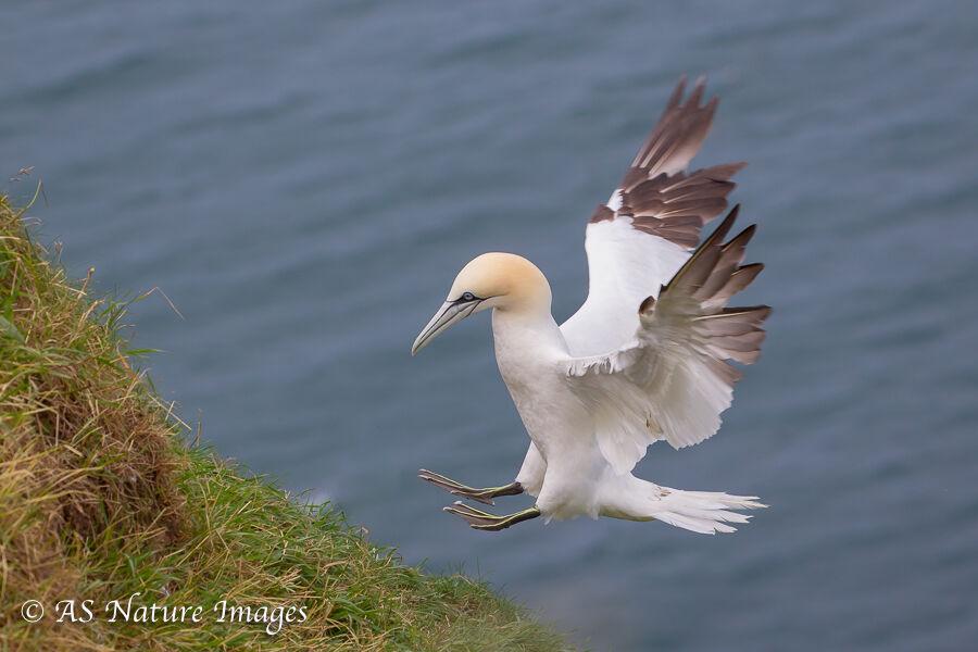 Gannet Landing on Cliff Top