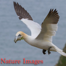 GANNET FLYING WITH NESTING MATERIAL