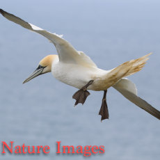 GANNET FLYING AGAINST THE WIND
