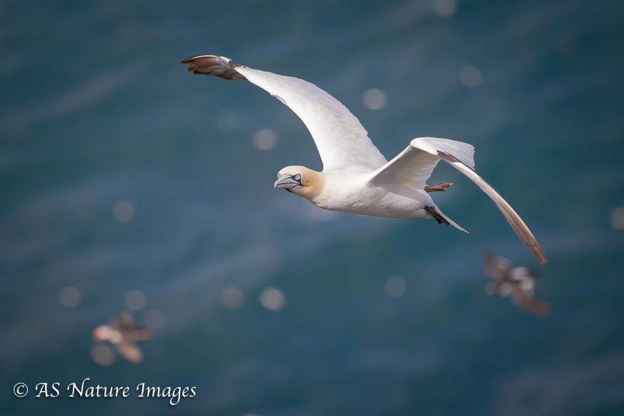 Gannet Flying High Over the Clifftops