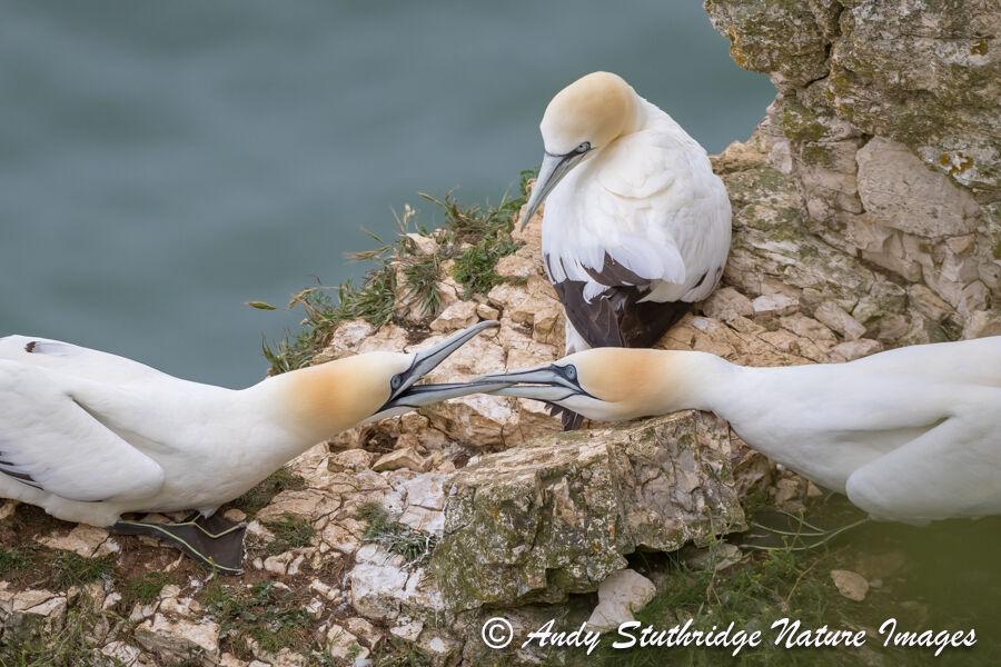 Gannets Fighting