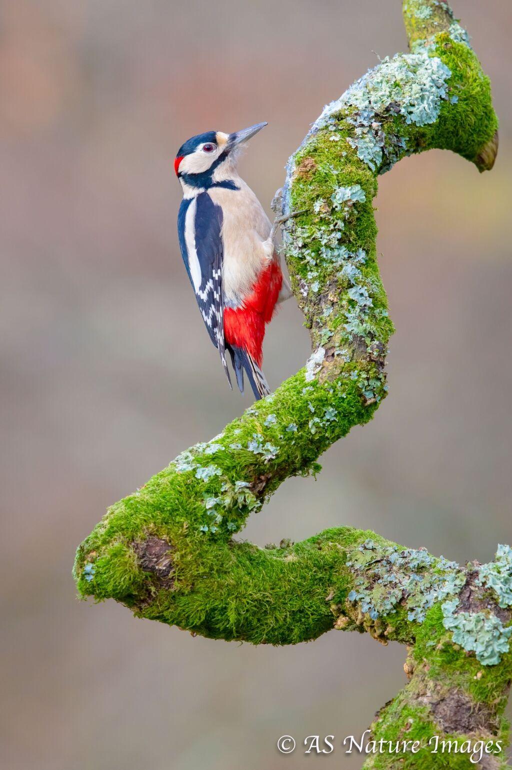 Male Great Spotted Woodpecker in Oak Tree