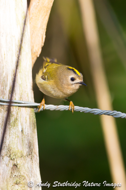 Gold Crest on Fence