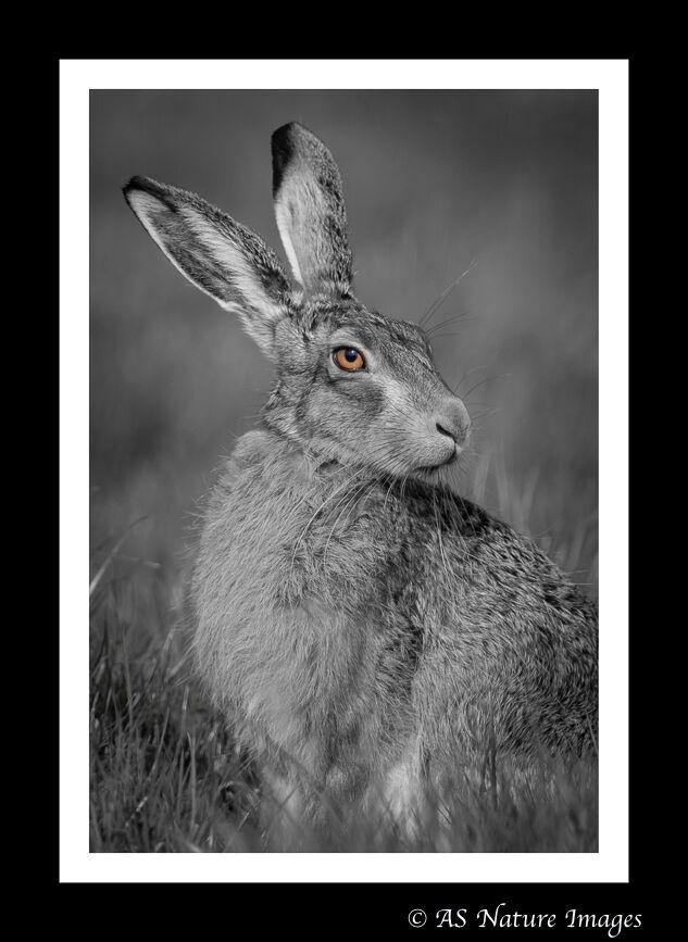 Golden Eye Hare