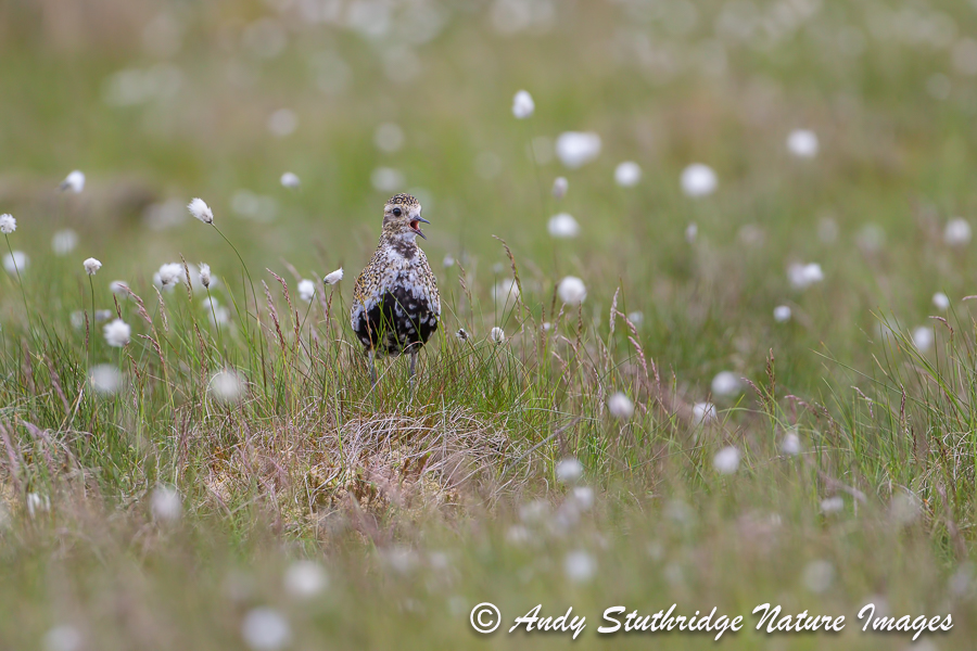 Male Golden Plover Calling in Cotton Grass