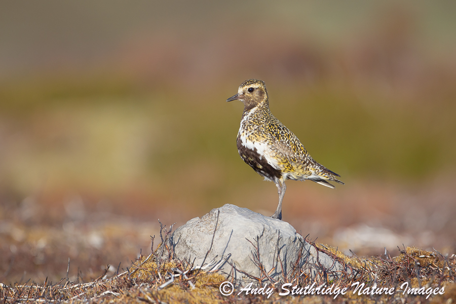 Male Golden Plover Standing on Rock