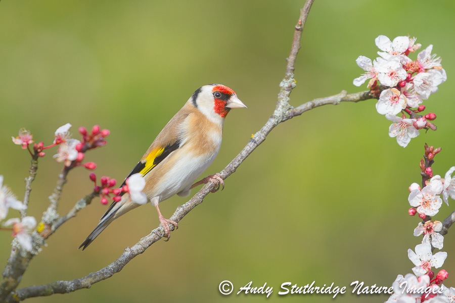 Goldfinch & Blossom
