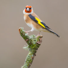 GOLDFINCH POSING ON BRANCH
