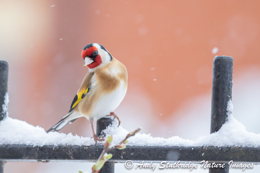 Goldfinch on Garden Fence in the Snow