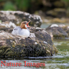 YOUNG GOOSANDER YAWNING