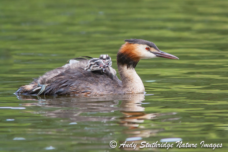 Great Crested Grebe with Young on its Back