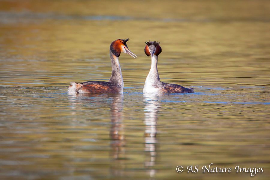 Great Crested Grebe Courtship Displaying