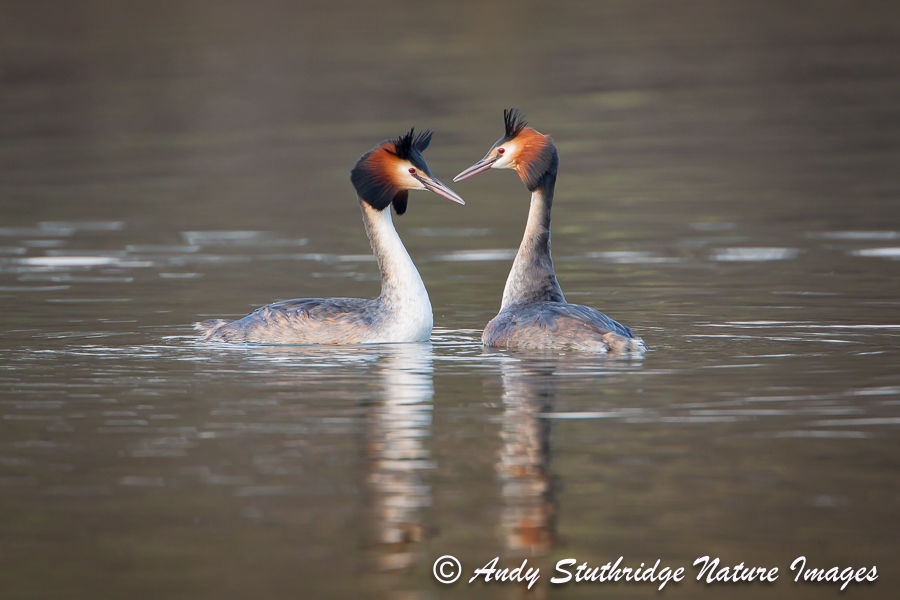 Great Crested Grebes Displaying